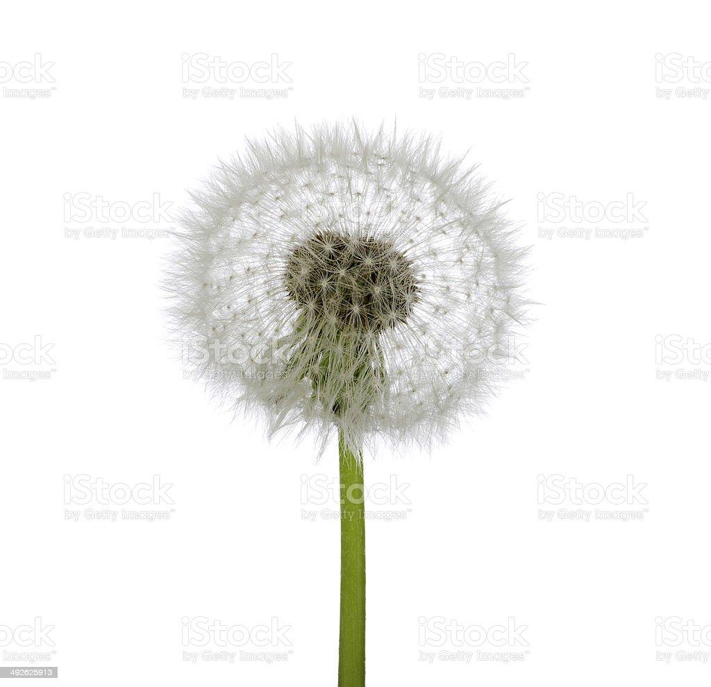 Spring dandelion royalty-free stock photo