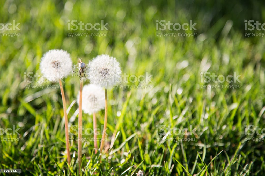 Spring Dandelion foto stock royalty-free