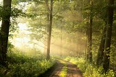 Dirt road through the spring deciduous forest on a foggy morning.