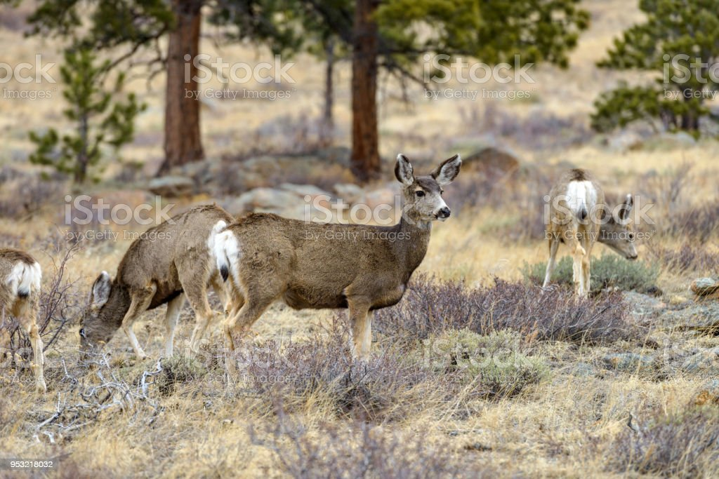 Spring Deer - A mule deer standing alerted and watching in a pine forest. Early Spring in Rocky Mountain National Park, Colorado, USA. stock photo
