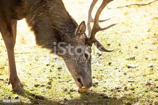 a close up shot of a eating deer