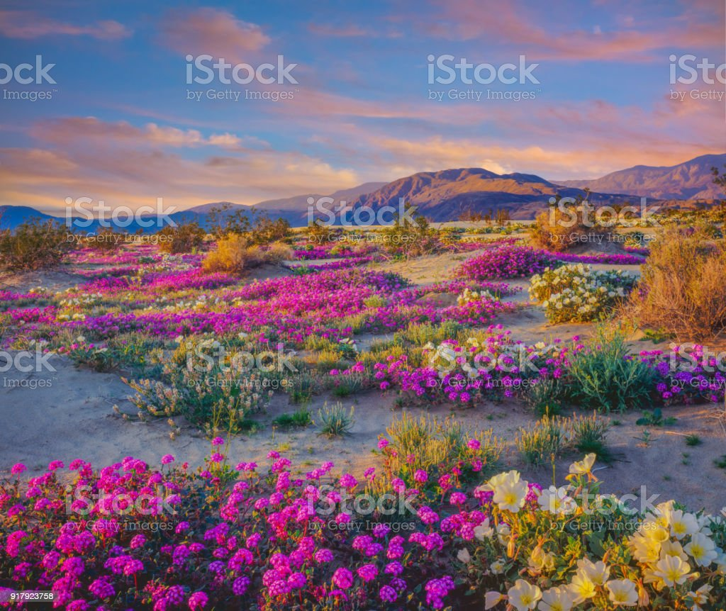 Spring desert wildflowers in Anza Borrego Desert State Park, CA stock photo
