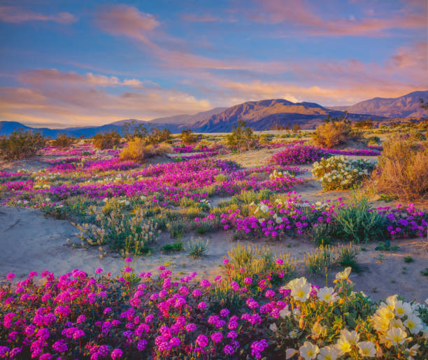 Spring desert wildflowers in Anza Borrego Desert State Park, CA Springtime adventure; desert solitude; a new beginning remote getaway wildflower stock pictures, royalty-free photos & images