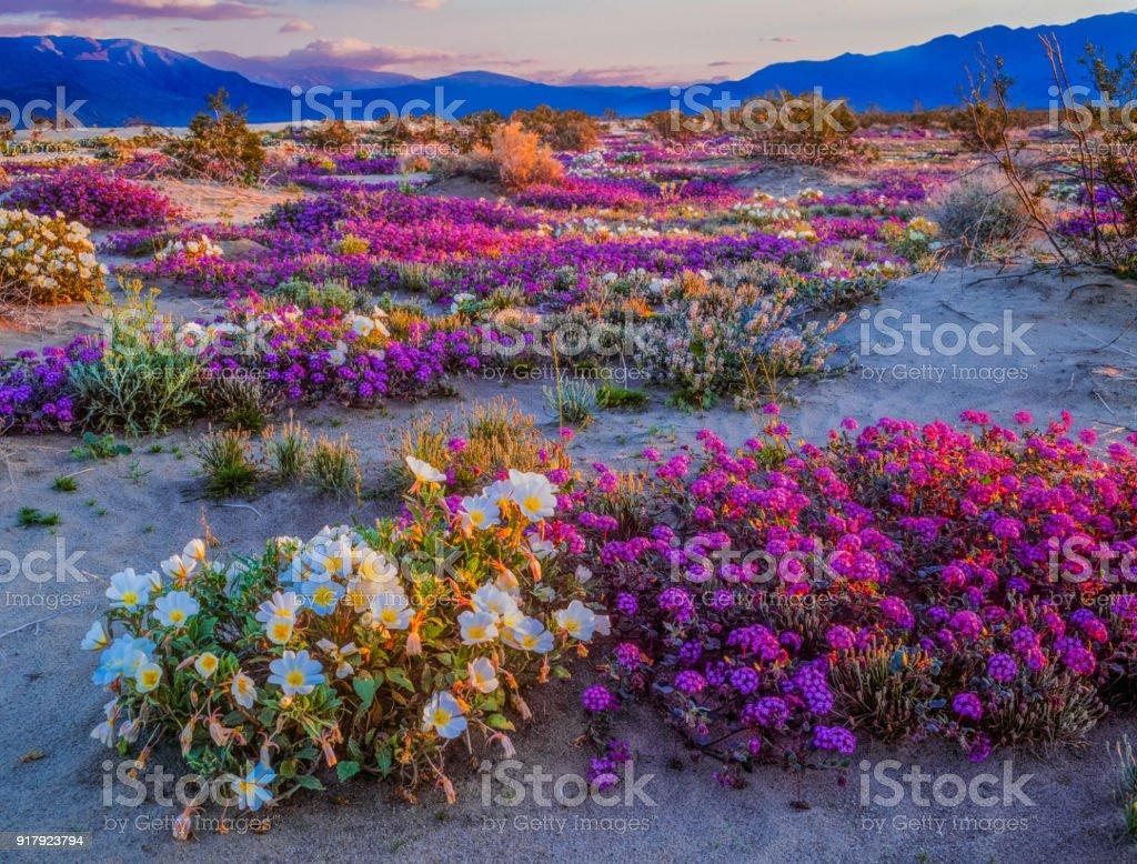 Spring desert wildflowers in Anza Borrego Desert State Park, CA stock photo