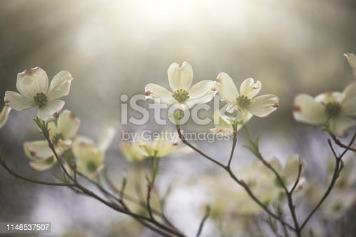 Horizontal image of dogwood flowers in the morning sun
