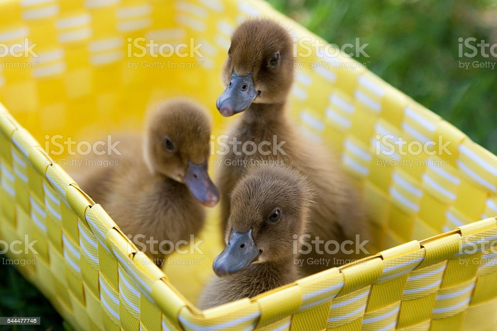 Spring Ducklings stock photo