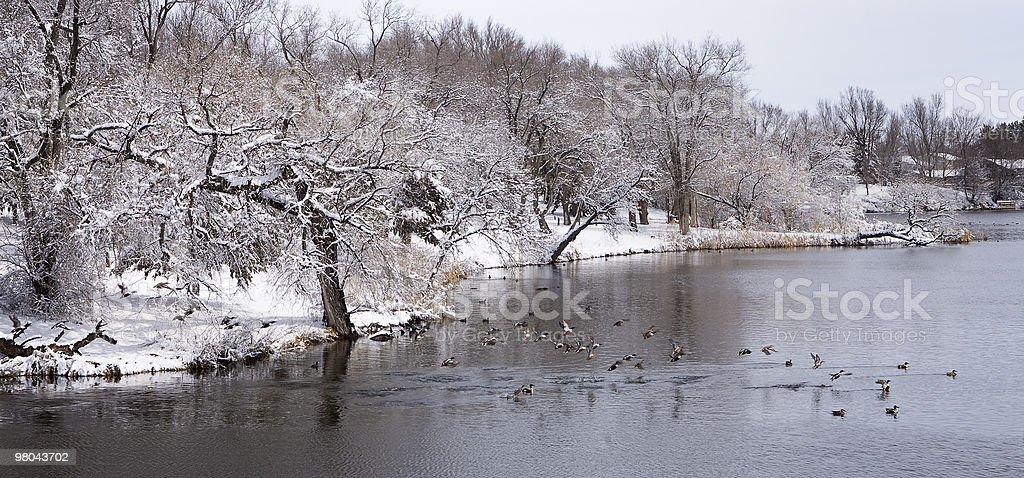 Primavera anatre e neve foto stock royalty-free