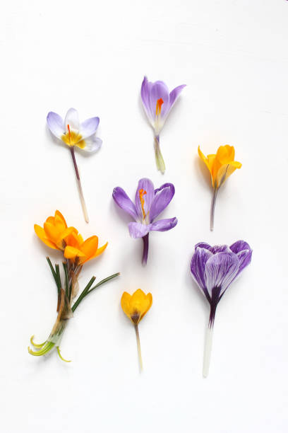 Spring, Easter floral composition. Yellow and violet crocuses flowers on white wooden background. Styled stock photo. Flat lay, top view Spring, Easter floral composition. Yellow and violet crocuses flowers on white wooden background, styled stock photo. Flat lay, top view. saffron stock pictures, royalty-free photos & images