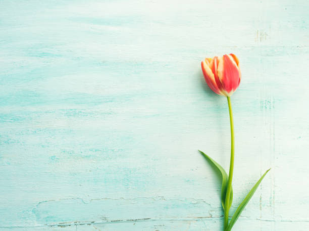 spring easter tulip floral minimal pastel color background - welcome march stock photos and pictures