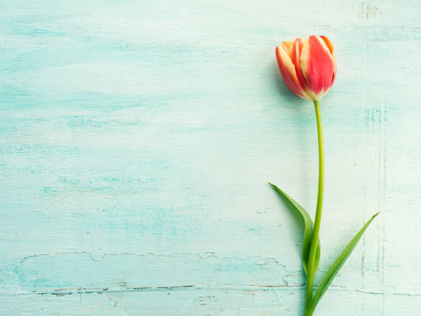 Spring easter tulip floral minimal pastel color background stock photo