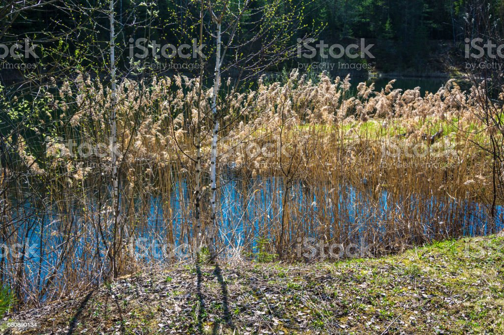 Spring etude with two young birches and last year's cane. royalty-free stock photo