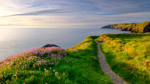 Spring evening light on Thrift 'Sea Pinks' in Ceibwr Bay, Pembroke, Wales Ceibwr Bay, UK - May 22, 2019:  Spring evening light on the coastal path and Sea Pinks in Ceibwr Bay, Pemroke, Wales, UK south wales stock pictures, royalty-free photos & images