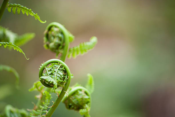 spring ferns unfurl stock photo