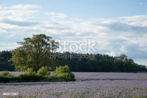 istock spring field of flowering borage in Essex England Borago officinalis 465512667