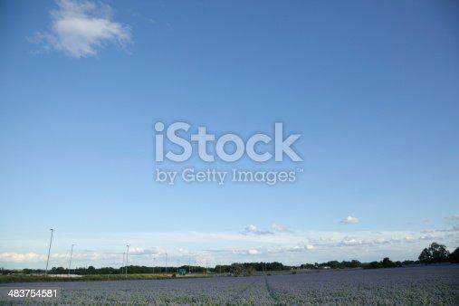istock spring field of flowering borage in Essex England Borago officinalis 483754581