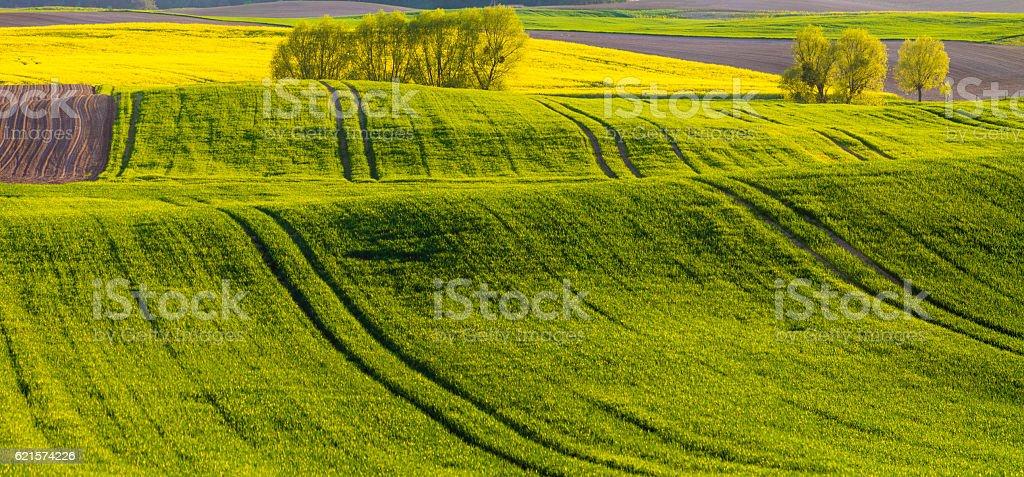 Printemps champ de maïs jeune, de l'huile de pépins de floraison viol photo libre de droits