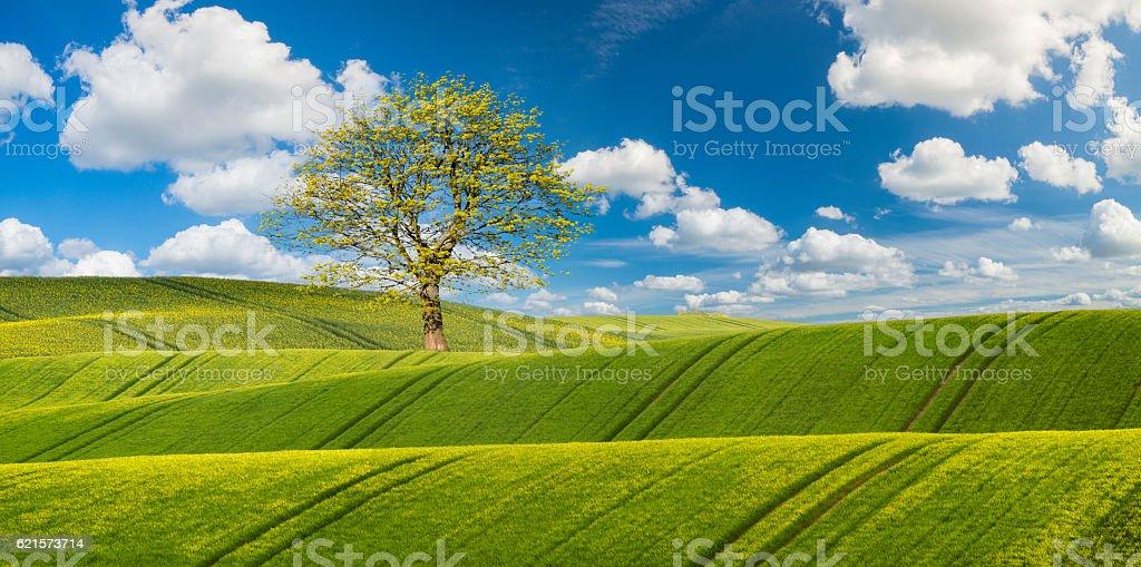 Printemps champ de maïs jeune photo libre de droits