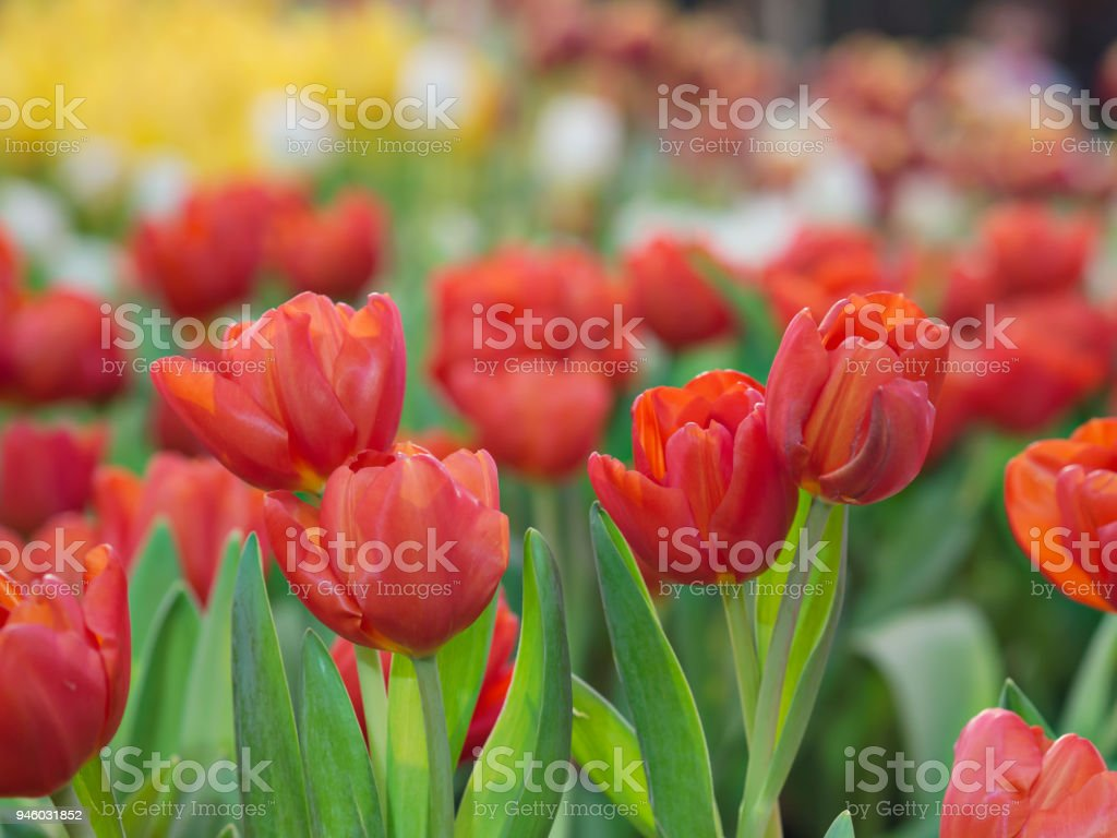 Spring fields with beautiful red and yellow color tulips in tulips spring garden, selecting focus on red color tulips with beautiful sunlight background for Spring and Summer stock photo