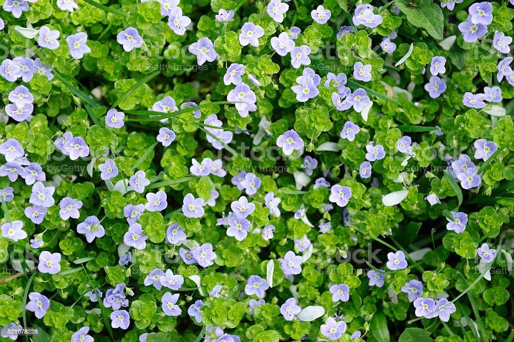 Fruhling Erste Wild Blumen Vergissmeinnicht Grunes Grass Blau Blumen