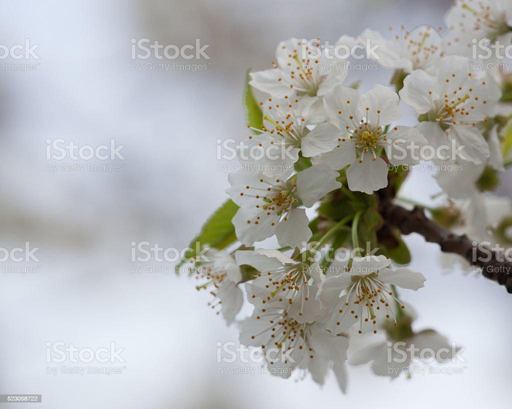 Spring Flora - Black Cherry Blossoms stock photo