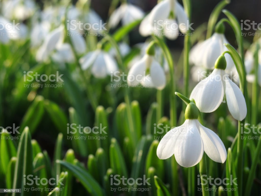 Spring floral background with beautiful snowdrops with selective focus stock photo