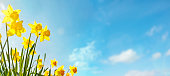 istock Spring flower background Daffodils against a clear blue sky 1218172915
