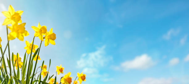 Spring flower background Daffodils against a clear blue sky stock photo