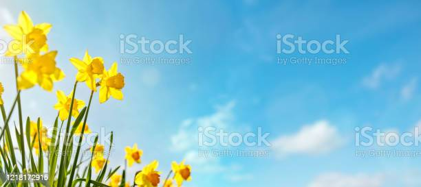 Photo of Spring flower background Daffodils against a clear blue sky