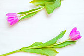 Spring flower background - pink tulip flowers on the white background