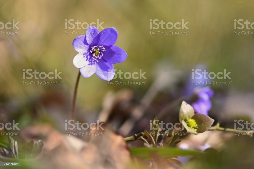 Spring flower beautiful blooming first small flowers in the forest spring flower beautiful blooming first small flowers in the forest hepatica hepatica mightylinksfo