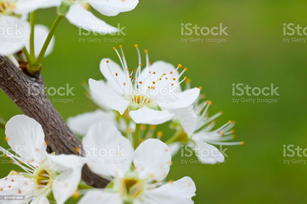 Spring flower blossoms stock photo
