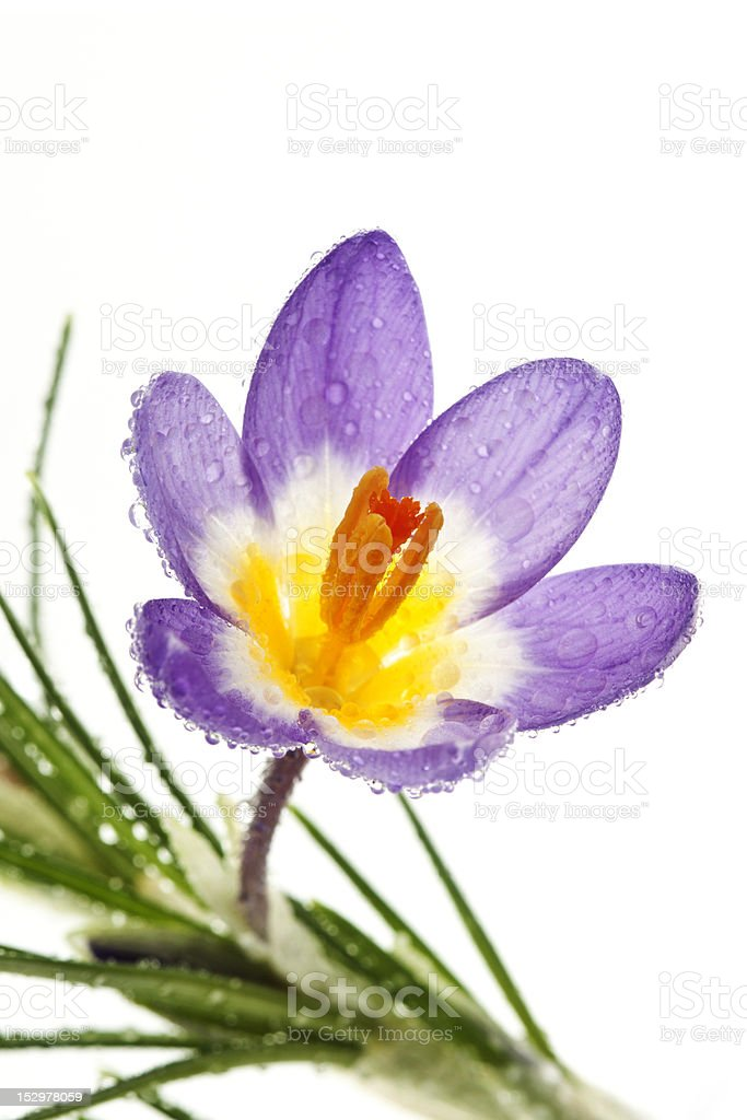 Spring flower Crocus Tricolor royalty-free stock photo