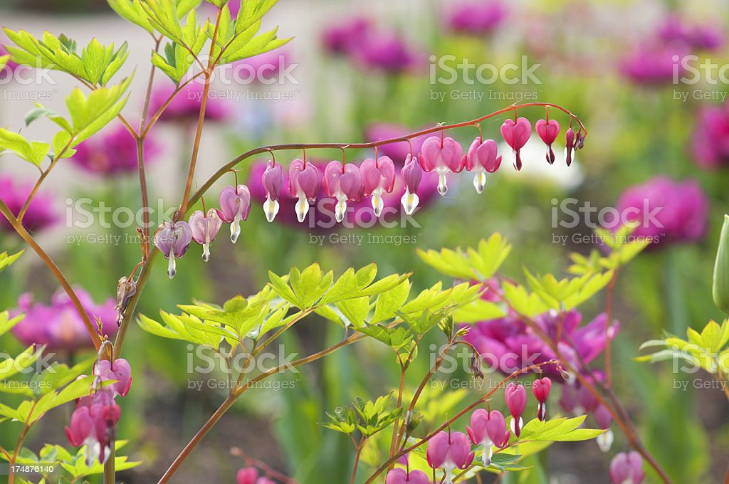 Spring flower garden with bleeding hearts stock photo