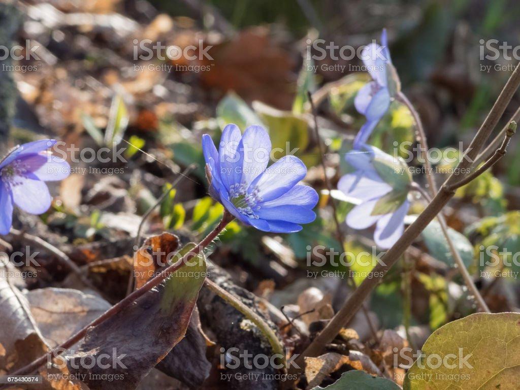 Spring flower in german forest - Liverleaf (Hepatica nobilis) royalty-free stock photo