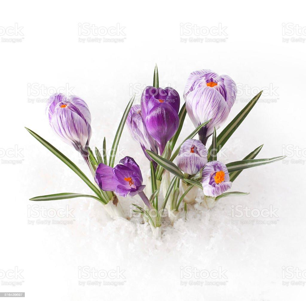 Spring flower in snow stock photo