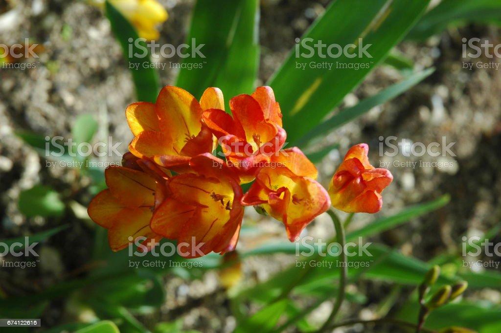 Frühlingsblume in Spanien - Krokus 免版稅 stock photo