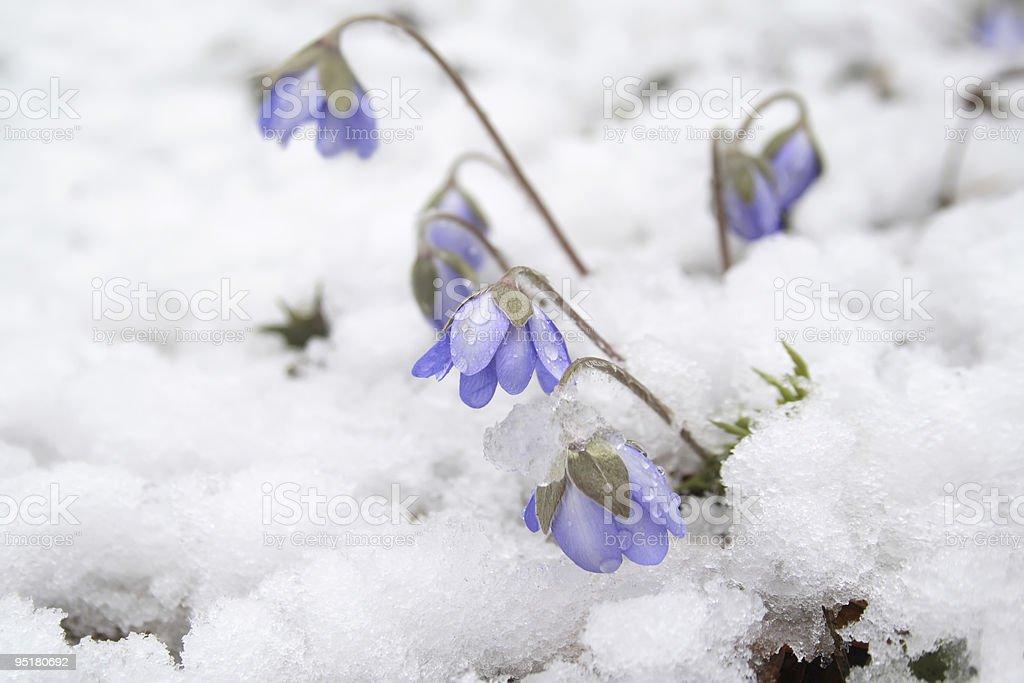 Spring flower - Liverwort royalty-free stock photo