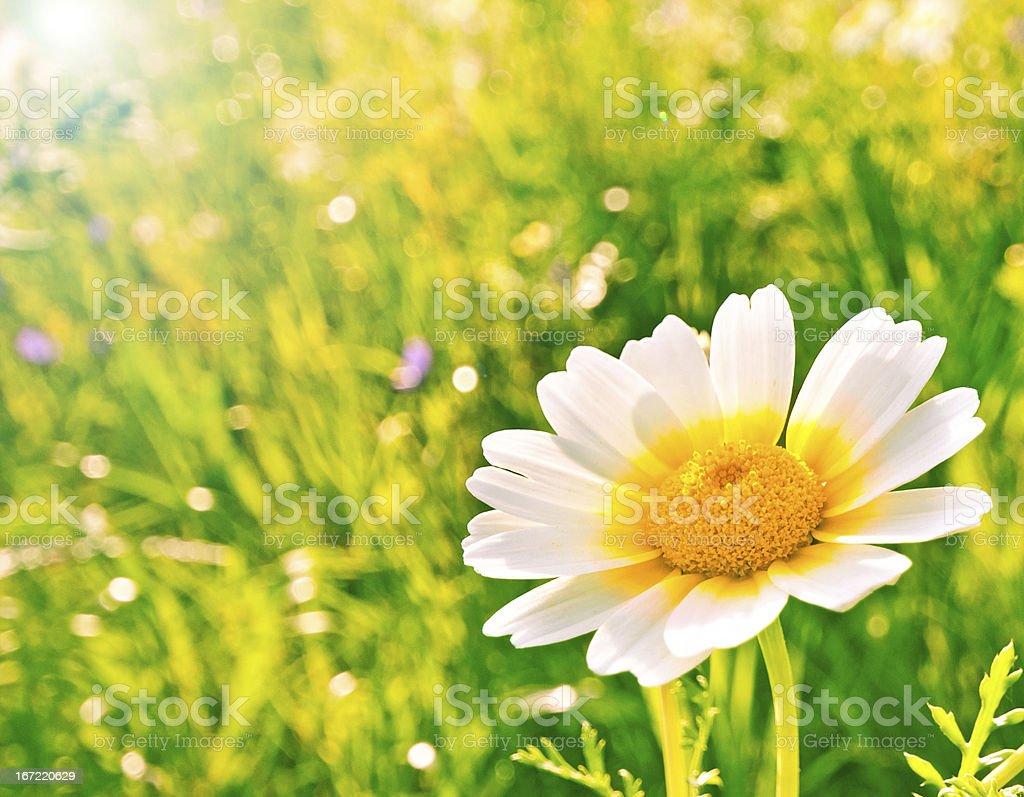 Spring flower royalty-free stock photo