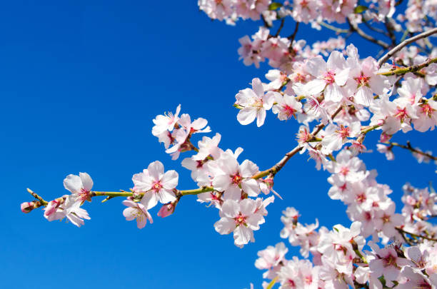 Spring flower Beautiful blooming almond tree with flowers in full bloom in Santiago del Teide, Tenerife, Canarias Islands,Spain. Concept for Spring. blossom stock pictures, royalty-free photos & images
