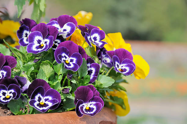 Spring Flower Pot  pansy stock pictures, royalty-free photos & images