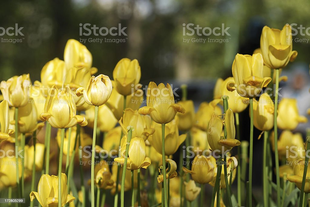 spring flower series royalty-free stock photo