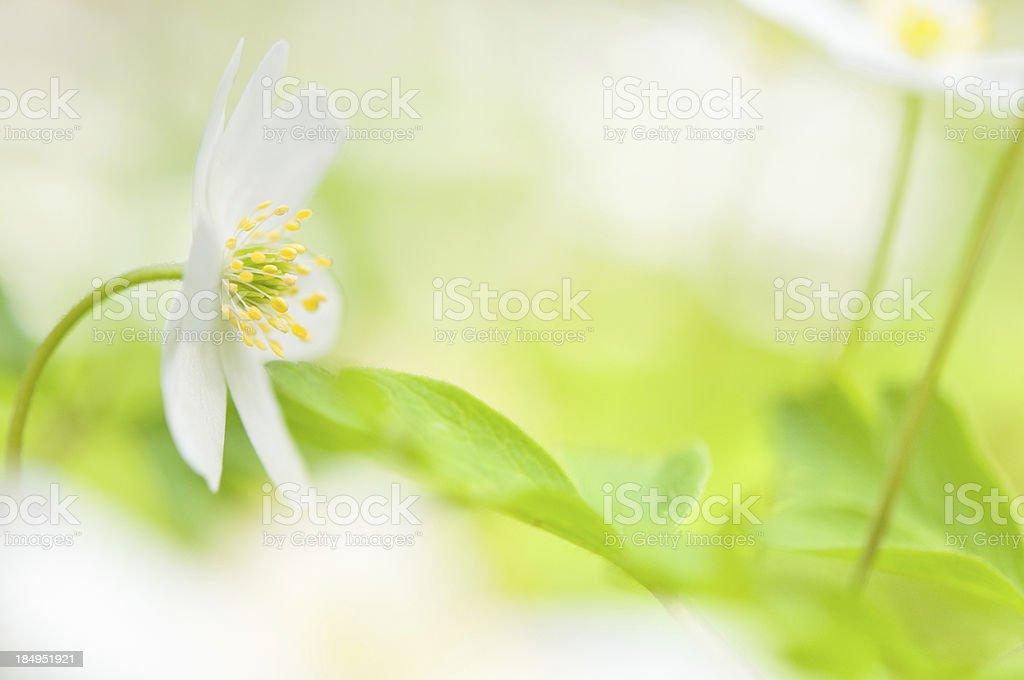 Spring flower, Wood anemone stock photo