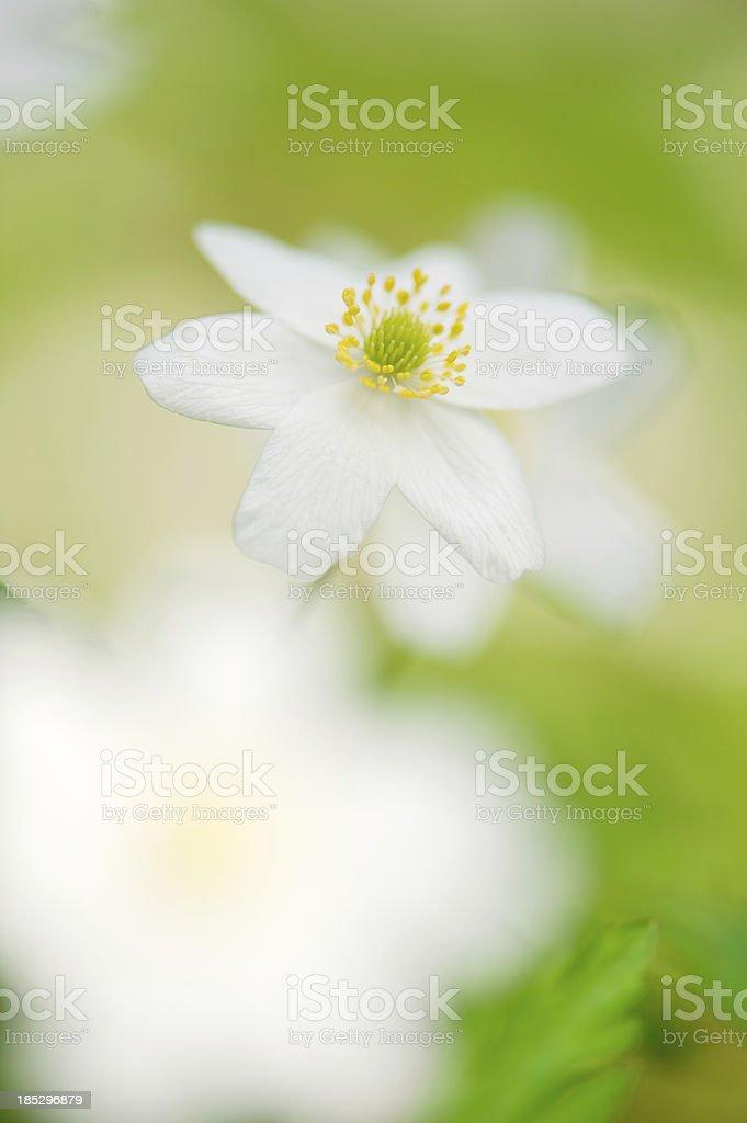 Spring flower, Wood anemone royalty-free stock photo