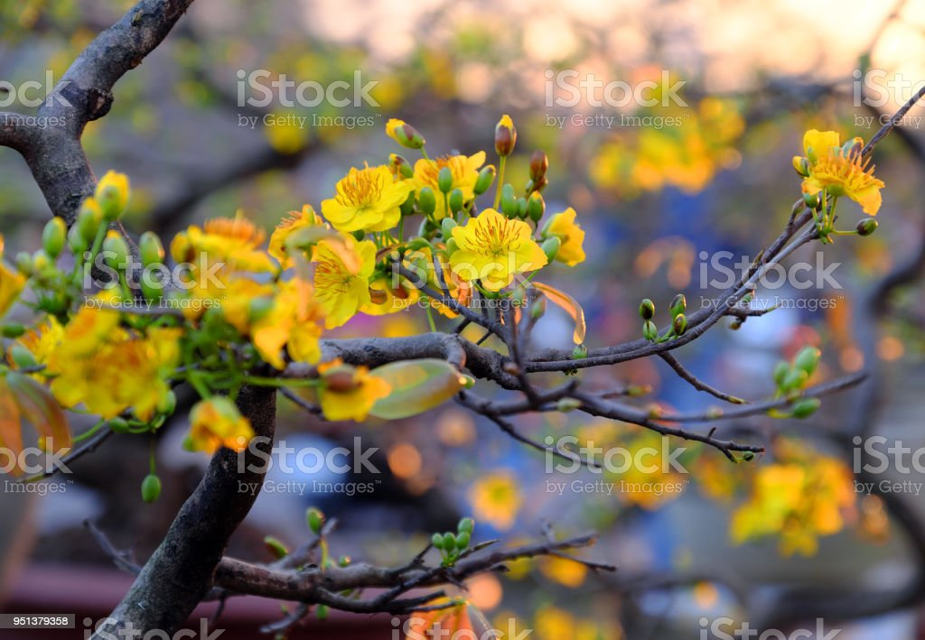 spring flower, yellow apricot blossom stock photo