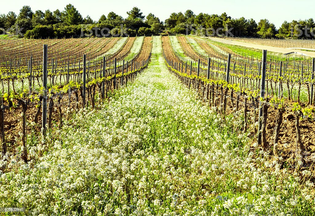 spring flowered flower vines vineyard aragon spain terra alta stock photo