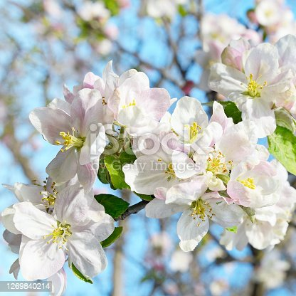 autiful spring flowering apple tree on blur background.