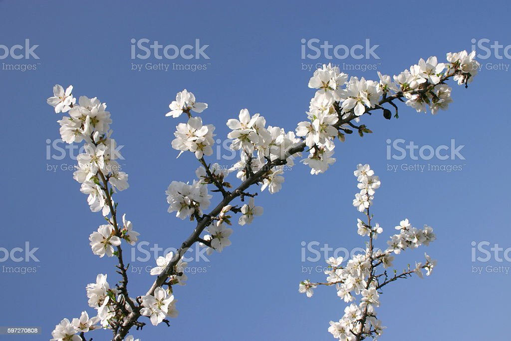 Spring flowering apple tree Lizenzfreies stock-foto