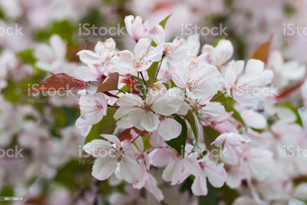 Spring flowering apple-tree with a pink inflorescence on a sunny day stock photo