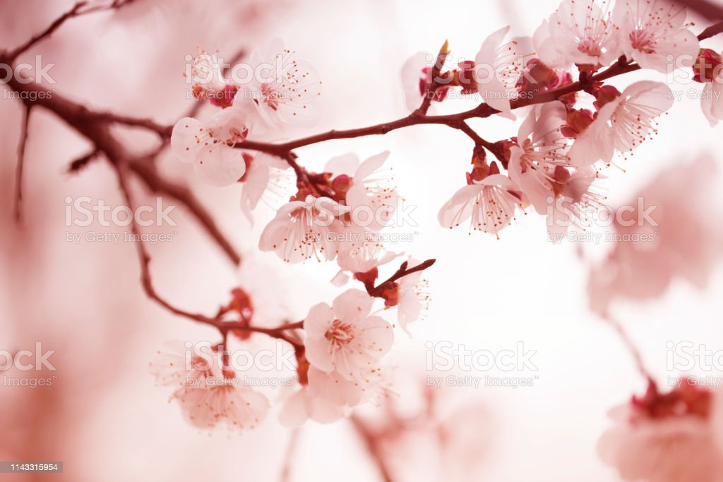 spring flowering apricot tree. Apricot tree flower, seasonal floral...