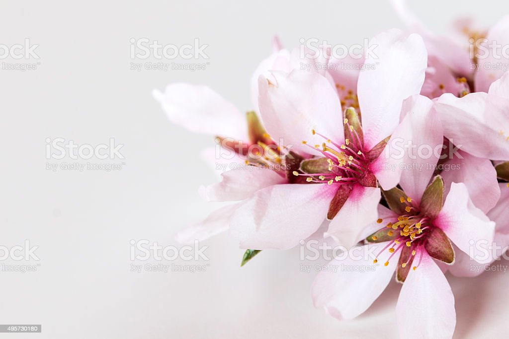Spring flowering branches, almond tree flowers on white backgrou stock photo